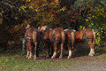 Horse backs four belgian draft ready for the hayrides Royalty Free Stock Photos