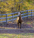 Horse behind wooden fence with fall foliage Stock Photography