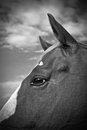 A horse in black and white beautiful portrait of profile Royalty Free Stock Image