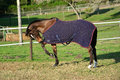 Horse with blanket on paddock full body side view of a thoroughbred sport chewing its while standing the of a farm Stock Photography