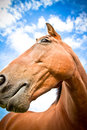 Horse with blue skies a beautiful portrait of a in summer Royalty Free Stock Photos