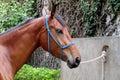 Horse with a bridle dark brown head portrait Stock Photos