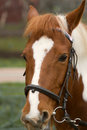 Horse bridle dressage or riding concept portrait of with closeup Royalty Free Stock Image