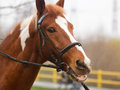 Horse bridle head dressage or riding concept portrait of with closeup Royalty Free Stock Images