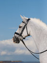 Horse in bridle headshot a head shot of a beautiful grey Royalty Free Stock Image