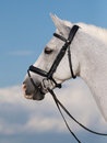 Horse in bridle headshot a head shot of a beautiful grey Royalty Free Stock Photos
