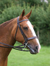 Horse in bridle headshot a head shot of a a at a competition Royalty Free Stock Images
