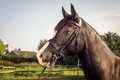 Horse with bridle welsh section d Royalty Free Stock Photos