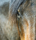 Horse carpathian on the farm Stock Photography