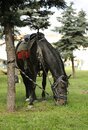 Horse in cavalry trappings tied to the tree and grazing on the lawn Royalty Free Stock Photo