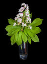 Horse chestnut aesculus hippocastanum conker tree flowers and chestnut leaf in vase isolated on black background Royalty Free Stock Photography