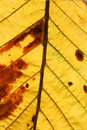 Horse chestnut aesculus hippocastanum yellow leaf in autumn september Royalty Free Stock Photos