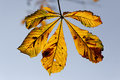 Horse chestnut aesculus hippocastanum yellow leaf in autumn september Stock Image