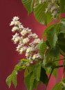 Horse-chestnut blossoms Stock Photo