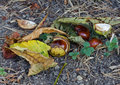 Horse Chestnut Conkers, Leaves and Husks Royalty Free Stock Image