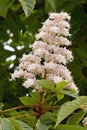 Horse chestnut flower of or of india aesculus hippocastanum Stock Photos