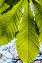 Horse chestnut leaf illuminated with a bright green foliage Royalty Free Stock Photo