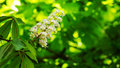Horse chestnut seed flower with foliage in spring Royalty Free Stock Photo