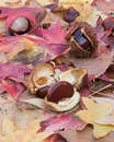 Horse chestnut seeds on the forest ground Stock Photo