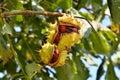 Horse chestnut tree Royalty Free Stock Photo