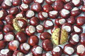 Horse chestnuts Stock Images