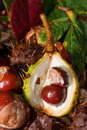 Horse Chestnuts close-up Royalty Free Stock Photo