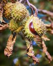 Horse-chestnuts On Conker Tree...