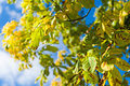 Horse chestnuts on a tree branch Royalty Free Stock Images