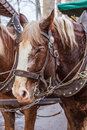 Horse close up in harness Stock Image