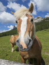 A horse close up of in the italian alps Royalty Free Stock Image
