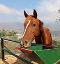 Horse closeup brown in a farm in the galilee in israel Stock Images