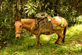 Horse in Cocora valley Royalty Free Stock Photo