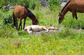 Horse colt sleeping young on patch of dirt with horses mares eating nearby Stock Image