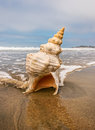 Horse conch and wave a on a sandy beach with ocean water flowing around it Stock Photo