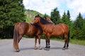 Horse couple standing on the road carpathians lviv region ukraine Royalty Free Stock Photo