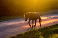 Horse crossing the road at sunset Stock Images
