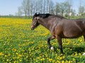 Horse and Dandelions Royalty Free Stock Photography