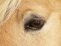 Horse detail close up eye and eyelashes Stock Photography