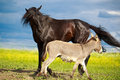 Horse and donkey black gray play Royalty Free Stock Photos