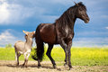 Horse and donkey black gray play Stock Images
