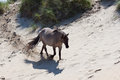 Horse on the dunes an sand of zandvoort Royalty Free Stock Images