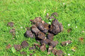 Horse dung or manure a pile of on green grass Stock Images