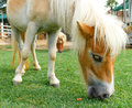 Horse eat green grass in pasture photo stock Royalty Free Stock Photo