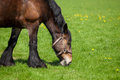 Horse eating grass on a field brown fresh green Stock Photography