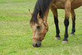 Horse eating grass in a field head closeup grazing green meadow close up Stock Image