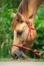 Horse eating grass headshot of Stock Image