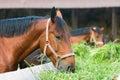 Horse eating hay Royalty Free Stock Photo