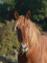 Horse eating hay a head shot of a chestnut Stock Images