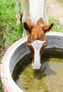 Horse eating water in the basin Royalty Free Stock Image