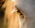 Horse eye close-up at sunset